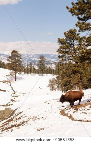 North American Bison Buffalo Roam Hillside Fresh Snow Blue Sky
