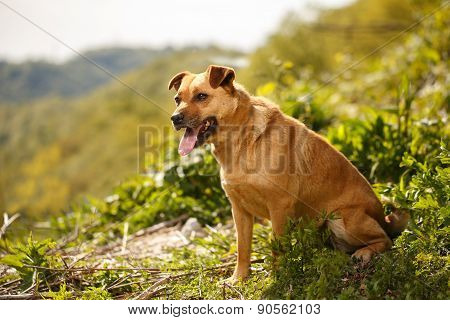 Funny Ginger Dog Stands On Grass Outdoor