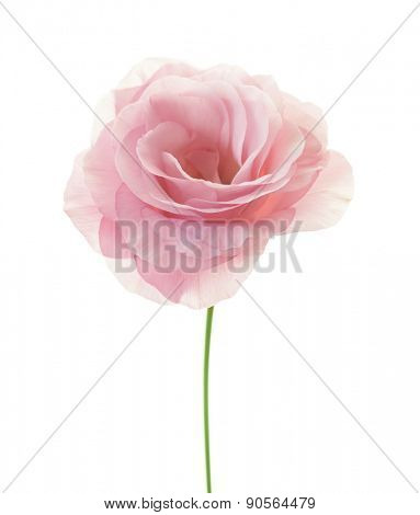 Beautiful minimalistic pink rose with fresh leaves isolated on white