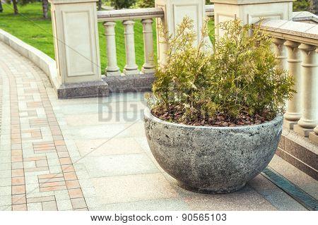 thuja in hemispherical concrete pot