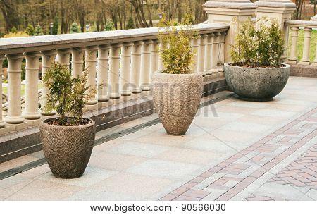 three thujas in concrete pots