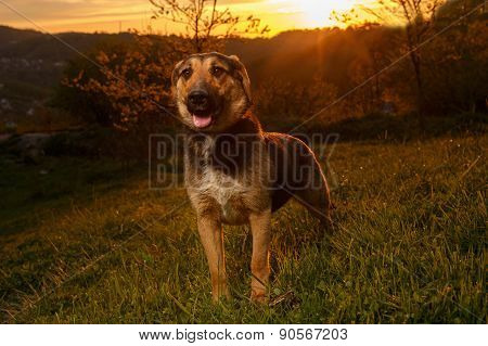 Mixed Breed Dog on Grass at sunset