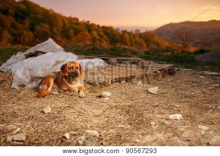 Mixed Breed Ginger Dog  Lies on Manger