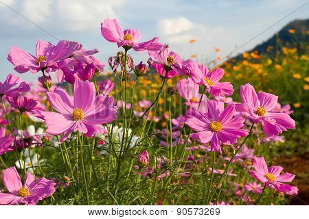 Pink Cosmos Flower In Garden