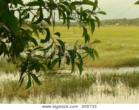 Scene Of A Paddy Field