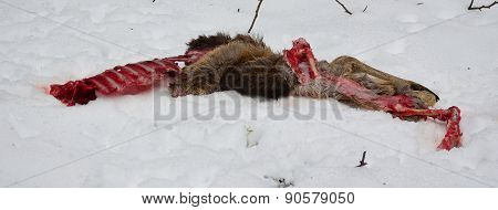 The Remains Of A Deer Caught By A Predator