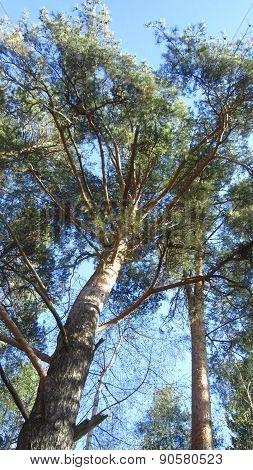Sunny Pine Trees
