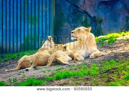 Lioness Nursing Three Cubs