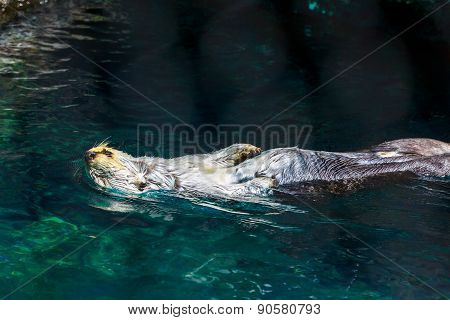 Sea Otter Laid Back On Water