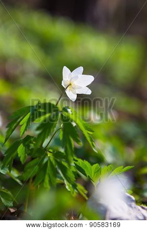 Beautiful Anemones/primroses - Macro Shot