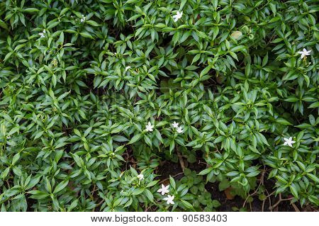 Gerdenia Crape Jasmine With Green Leaves Wall Background