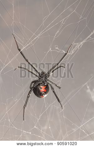 Female Southern Black Widow Spider