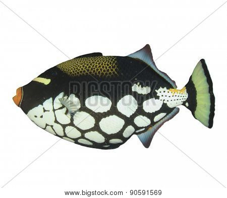 Tropical fish isolated: Clown Triggerfish on white background