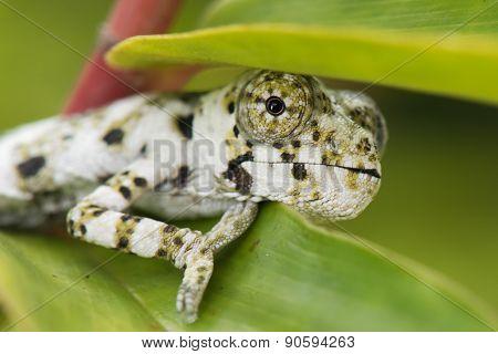 A Baby Melleri's Chameleon (chameleo Melleri) Hiding Under A Leaf