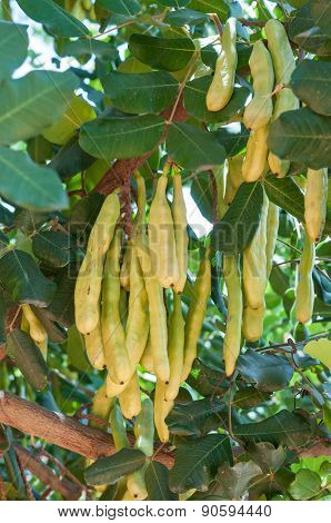Unripe Seed Pods Of A Carob Tree