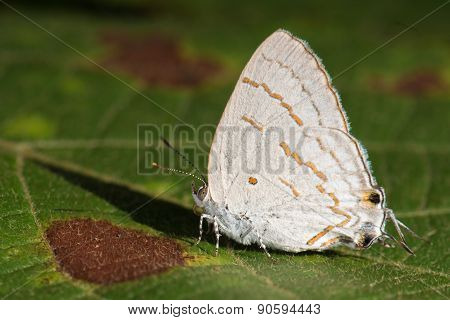 Hairstreak Lycaenida (hypolycaena Lochmophila) Resting On A Leaf