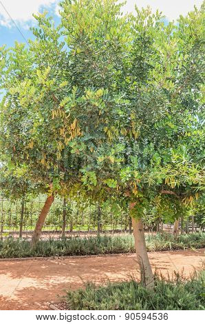 Female Carob Tree