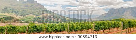 Panoramic View Of Vineyards Near Stellenbosch