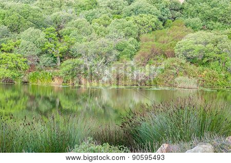Lake Surrounded By Indigenous Plants Near Stellenbosch
