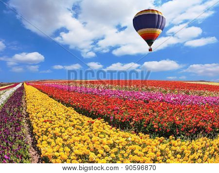 Over the field in sky flying big balloon. Elegant multi-color rural fields with flowers - ranunculus