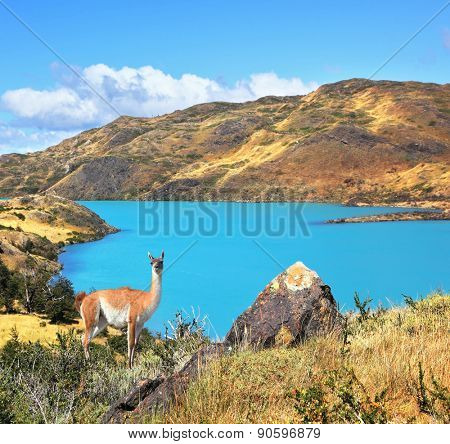 Neverland Patagonia. Emerald Lake Pehoe water on the hill stands a graceful guanaco