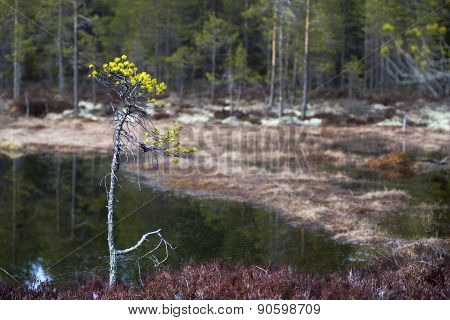 Small Pine Tree In Wetland