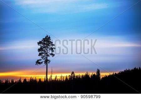 Pine Tre On Evening Sky