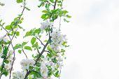 stock photo of apple tree  - Apple tree blooming in springtime - JPG