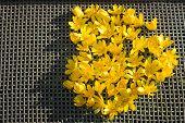 foto of windflowers  - shape of heart from yellow anemone flowers on a net  - JPG