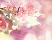 stock photo of cherry  - Flowering  - JPG