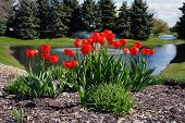 stock photo of blue spruce  - Red tulips in front of a small pond - JPG