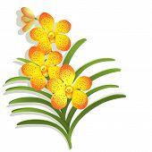 pic of yellow orchid  - Yellow Vanda orchid flower on white background - JPG