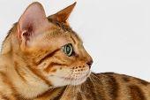 picture of bengal cat  - Close - JPG