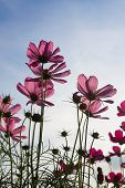 picture of cosmos flowers  - Pink Cosmos flower family fompositae in garden - JPG