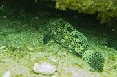 picture of grouper  - Underwater photography of a grouper under a rock - JPG