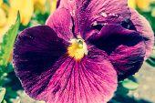 image of viola  - Flower  - JPG