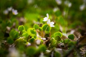 picture of sorrel  - Beautiful small flowers of wood sorrel blooming in early springtime in forests. ** Note: Shallow depth of field - JPG