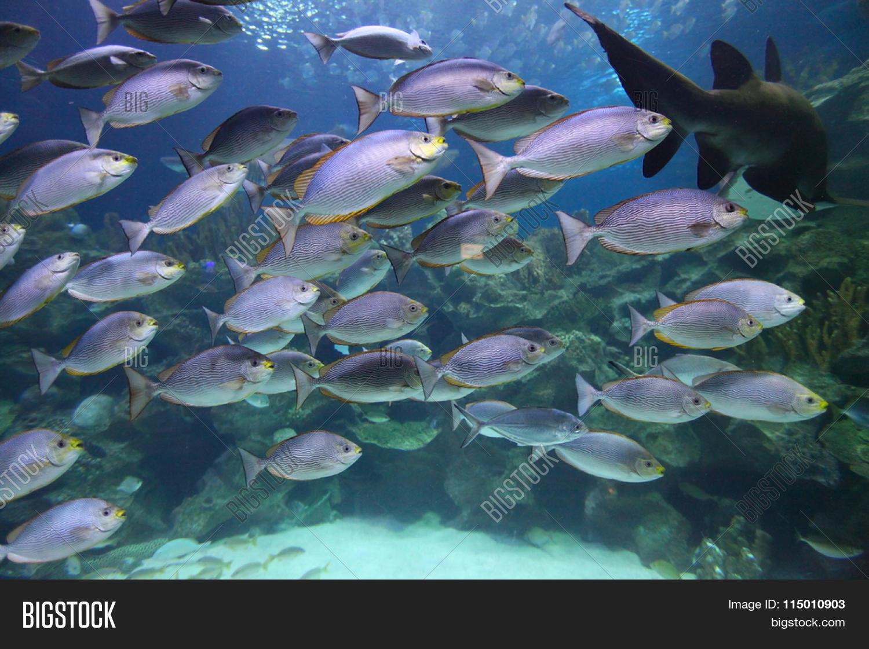 Tropical fish schooling aquarium image photo bigstock for Freshwater schooling fish