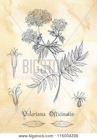 Herbarium- Valeriana Officinalis