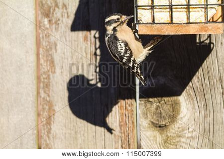 Female Downy Woodpecker (picoides Pubescens) In Bright Light