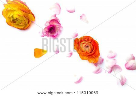 Heads And Petals Of Colorful Persian Buttercup Flowers (ranunculus)