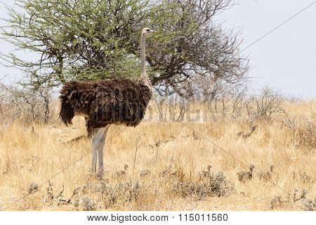 Female Ostrich With Her Chicks