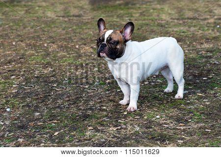 French Bulldog looks.
