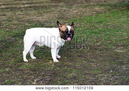 French Bulldog with tongue.
