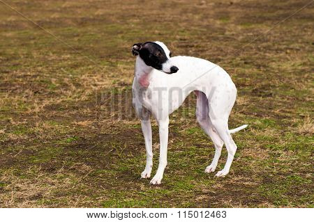Whippet stands.