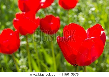 Red Tulips On The Spring Meadow, Backlit