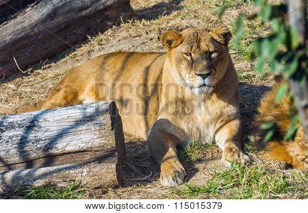 resting lion at Safari World, Bangkok Thailand