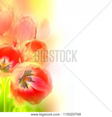 Abstract Design Flowers background - beautiful Tulips in artistic style on white, holiday card