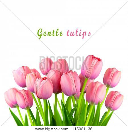 Border of Fresh Pink Tulips, spring flowers bouquet isolated on white background