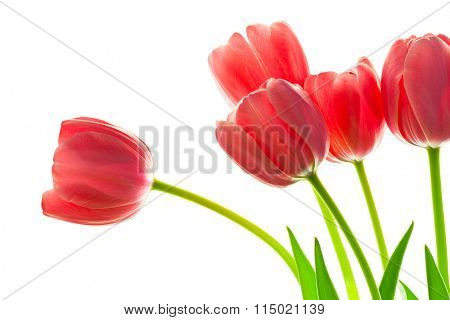 Fresh Beautiful Tulips bouquet against white background for your design, isolated